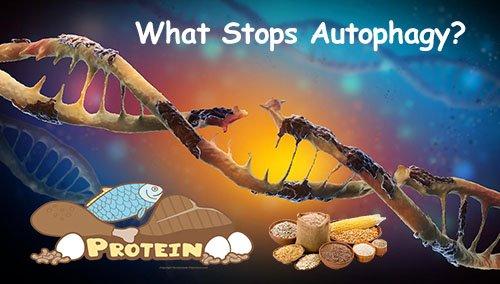 foods that stop autophagy
